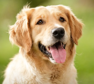golden-retriever-dog-03